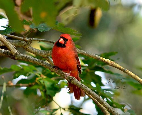 Male Northern Cardinal  15