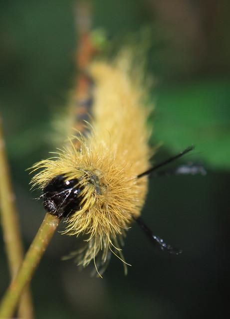 Dagger Moth - Dagger Moth