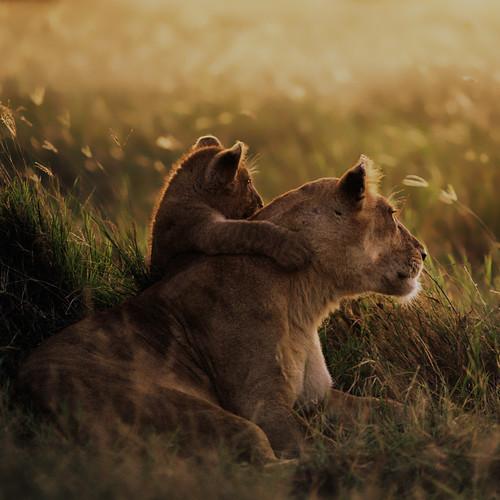 [フリー画像素材] 動物 1, ライオン, 動物 - 親子 ID:201209281000