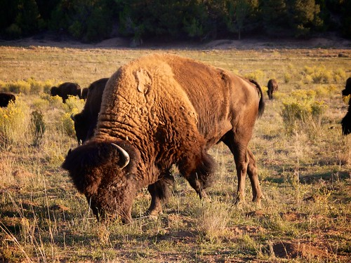 Buffalo of Zion