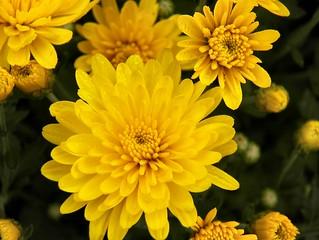 Yellow-Mums-1