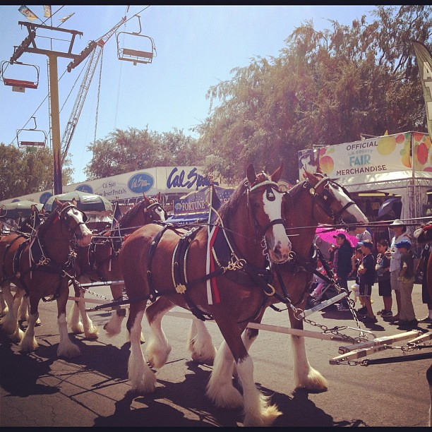 #Budweiser #clydesdales at the #lacountyfair