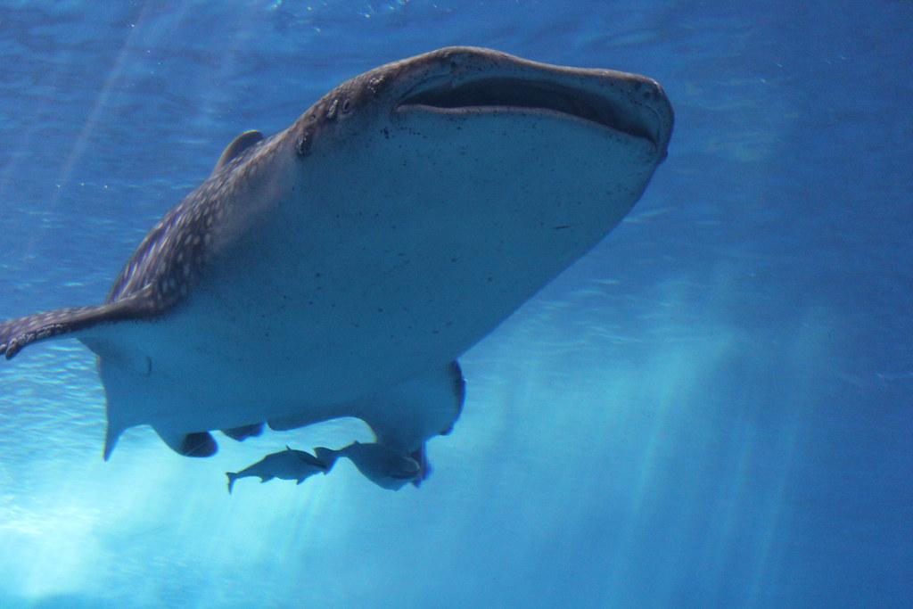 ジンベイザメのお腹