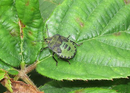 Green Shieldbug - Palomena prasina (nymph)
