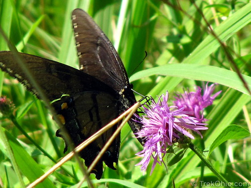Female Easter Tiger Swallowtail, Dark Morph