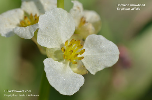 Common Arrowhead - Sagittaria latifolia by USWildflowers, on Flickr