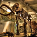 New York City USA - American Museum of Natural History - Milstein Hall of Advanced Mammals - Mammuthus columbi by Daniel Mennerich