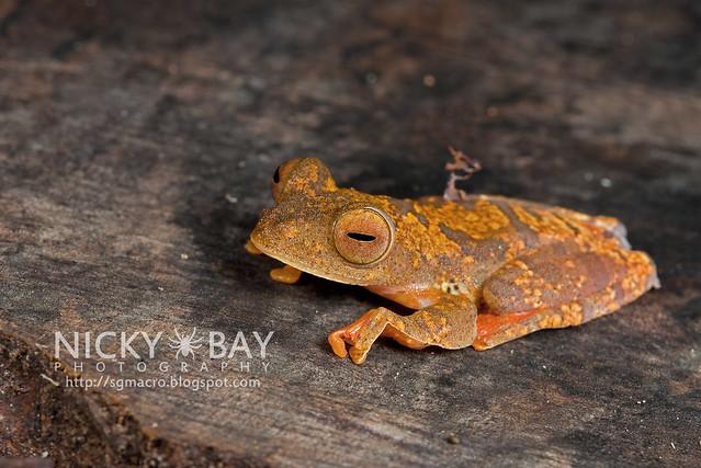 Harlequin Flying Frog (Rhacophorus pardalis) - DSC_8914