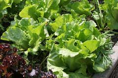 lettuce green summer crisp Nevada 065