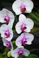 flower, purple, plant, orchid family, phalaenopsis equestris, flora, pink, petal,