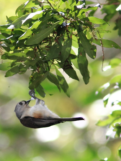 Tufted Titmouse 20120930