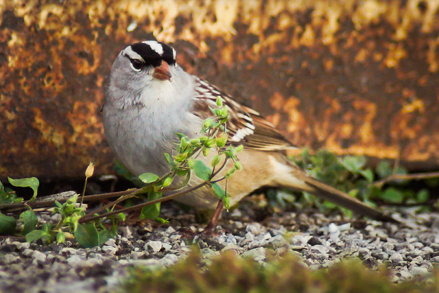 White-Crowned Sparrow, Sparrow, Ground,