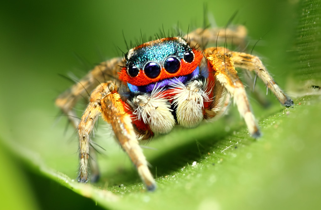 Colorful jumping spider - photo#8