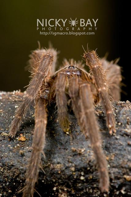 Tarantula (Phlogiellus inermis) - DSC_6998