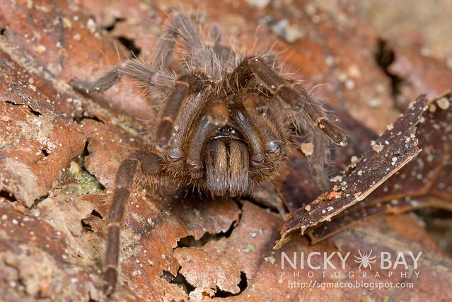 Tarantula (Phlogiellus inermis) - DSC_6941