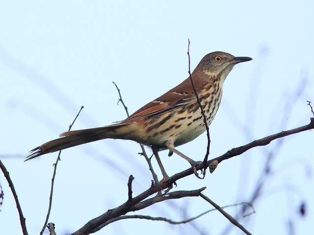Brown Thrasher 20121003