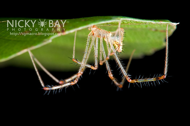 Golden Comb-footed Spider (Chrysso sp.) - DSC_5081