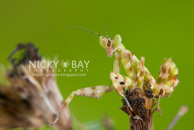 Flower Mantis (Creobotra sp.?) - DSC_5258