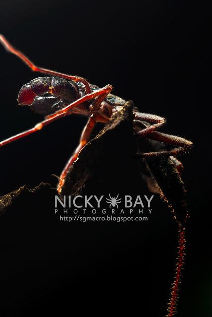 Whip Scorpion (Thelyphonida) - DSC_3140