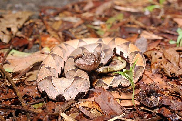 百步蛇身上的斑紋及色彩是最佳的保護色,有利於其埋伏於落葉、泥土堆中,伏擊獵物。