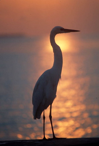 Heron at sunset: Key West, Florida