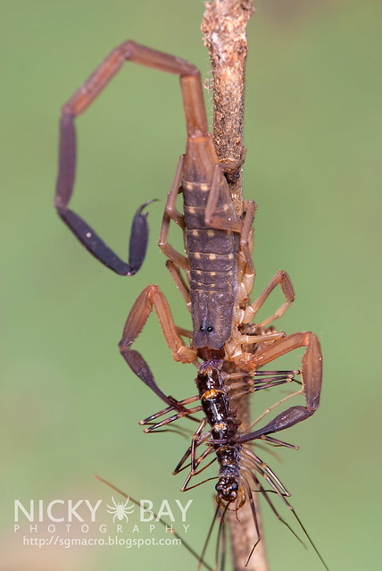 Scorpion devouring House Centipede - DSC_2211