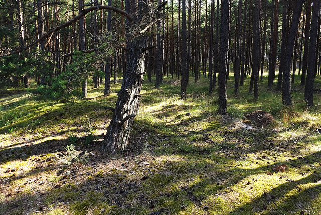 Forests of Baltic Coast (11)