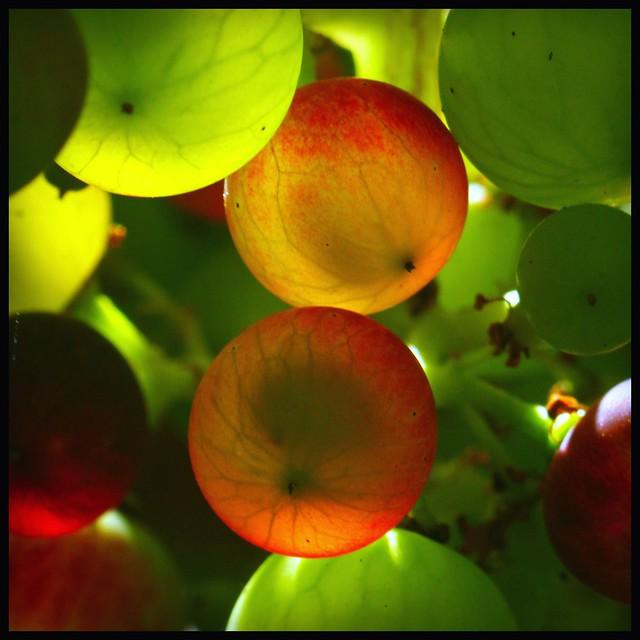 PK fit Vivitar Series 1 70-210mm - Macro - Garden Grapes in the sunshine