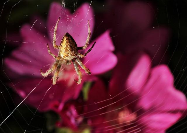 Spider on pink