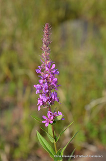 Flowering Spike of Lythrum salicaria, Purple Loosestrife