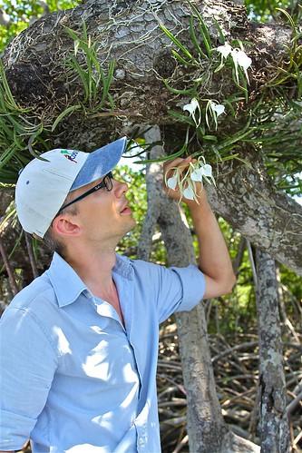 Brassavola nodosa (Orchidaceae)