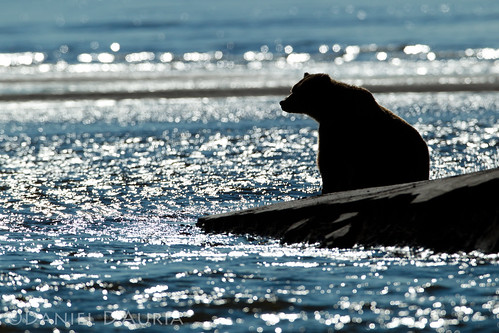 Pensive bear watches the tides at Lake Clark National Park and Preserve in Alaska 3090