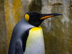 animal, yellow, penguin, flightless bird, fauna, king penguin, close-up, beak, bird, wildlife,