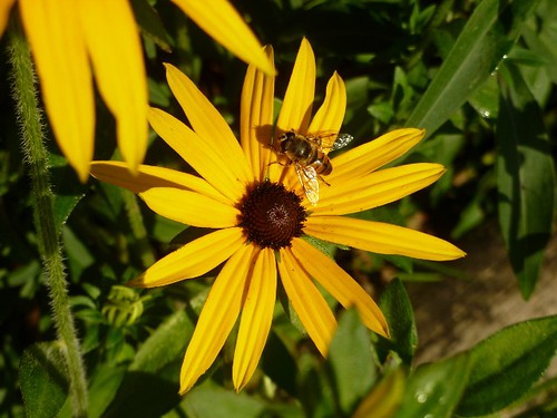 Hoverfly on the rudbeckia