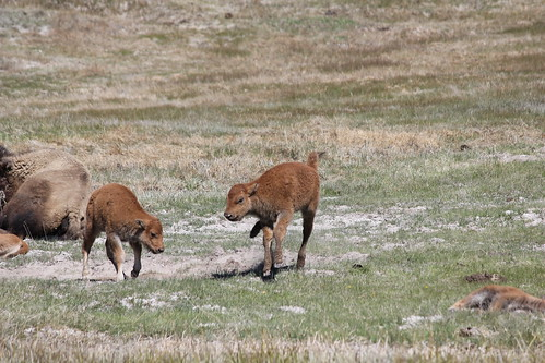 Baby Bison!