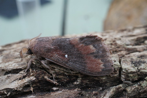 Pine-tree Lappet (Dendrolimus pini)