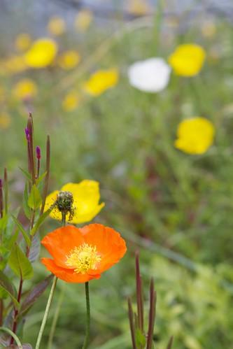 Poppies on Kenai Peninsula