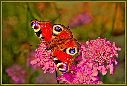 European peacock butterfly by FocusPocus Photography