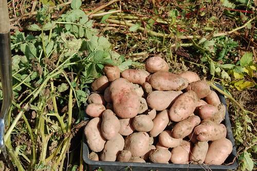 Sarpo Mira harvest