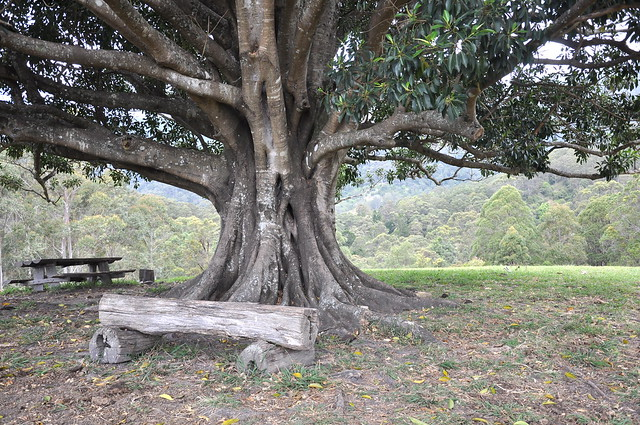 Lone Fig
