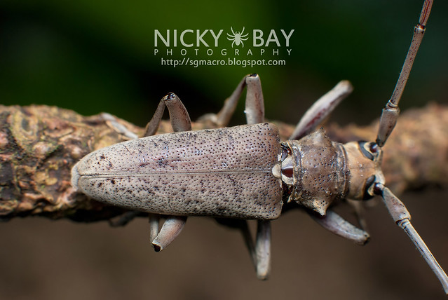 Mangrove Longhorn Beetle (Aeolesthes holosericeus) - DSC_7100