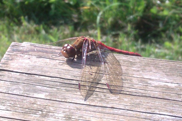 A dragonfly resting on a table