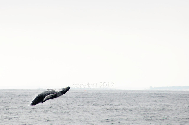 Humpback whale Breech