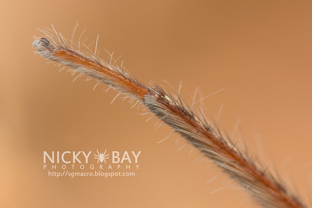 Huntsman Spider (Sparassidae) - DSC_5901