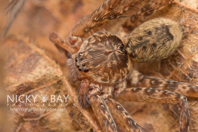 Huntsman Spider (Sparassidae) - DSC_5860