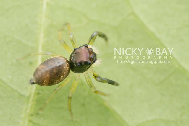 Jumping Spider (Phintella sp.) - DSC_5772