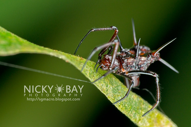 Comb-Footed Spider (Theridiidae) - DSC_5346