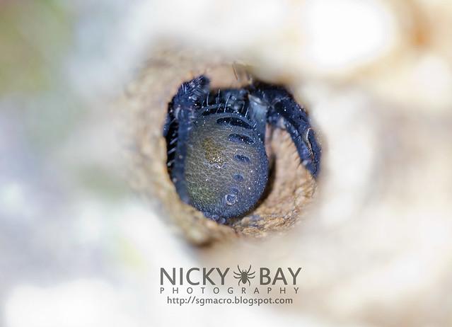 Trapdoor Spider inside the Burrow (Liphistiidae) - DSC_5281