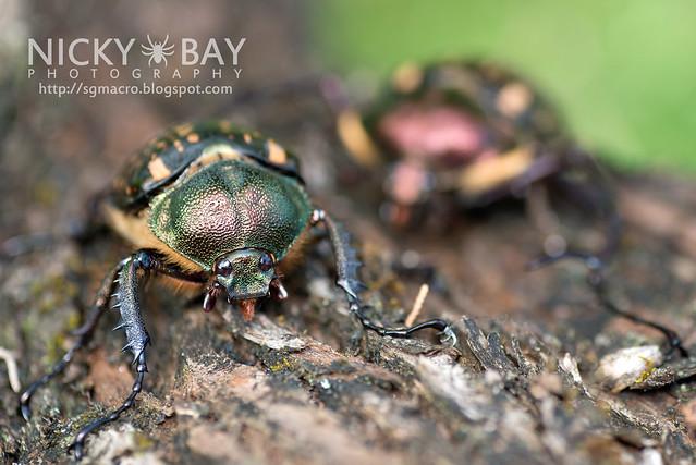 Scarab Beetle (Cheirotonus sp.) - DSC_6536