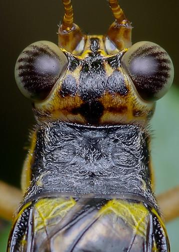 macro nature animal closeup fauna insect bugs cricket k5 macrophoto serangga cengkerik diyflashdiffuser smcpentaxdfamacro100mmf28wr pentaxk5 hishammarmincom hishammarmin af160fcautomacroringflash